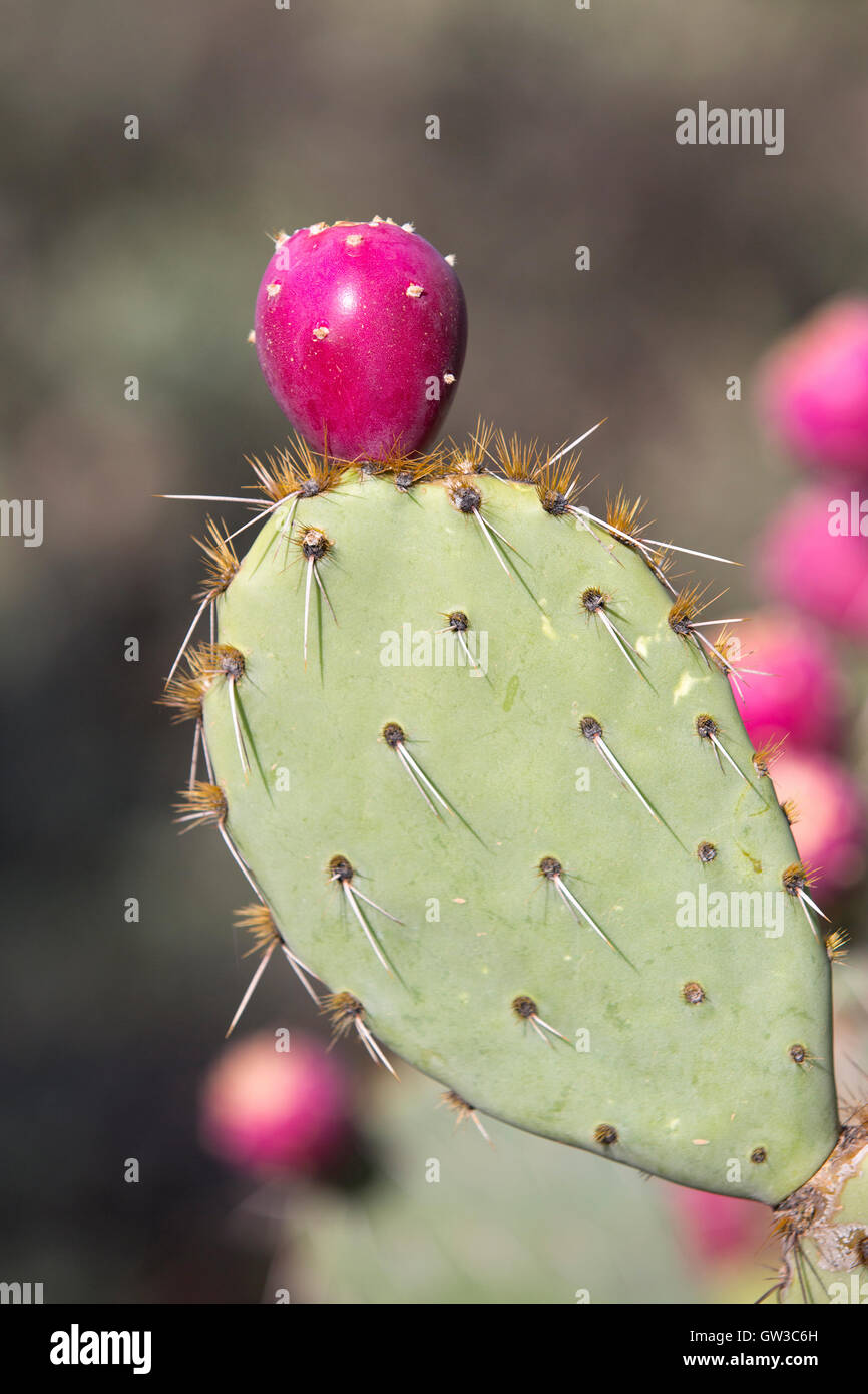 Prickly Pear cactus (Opuntia) fruit, Arizona Sonora Desert Museum - Stock Image