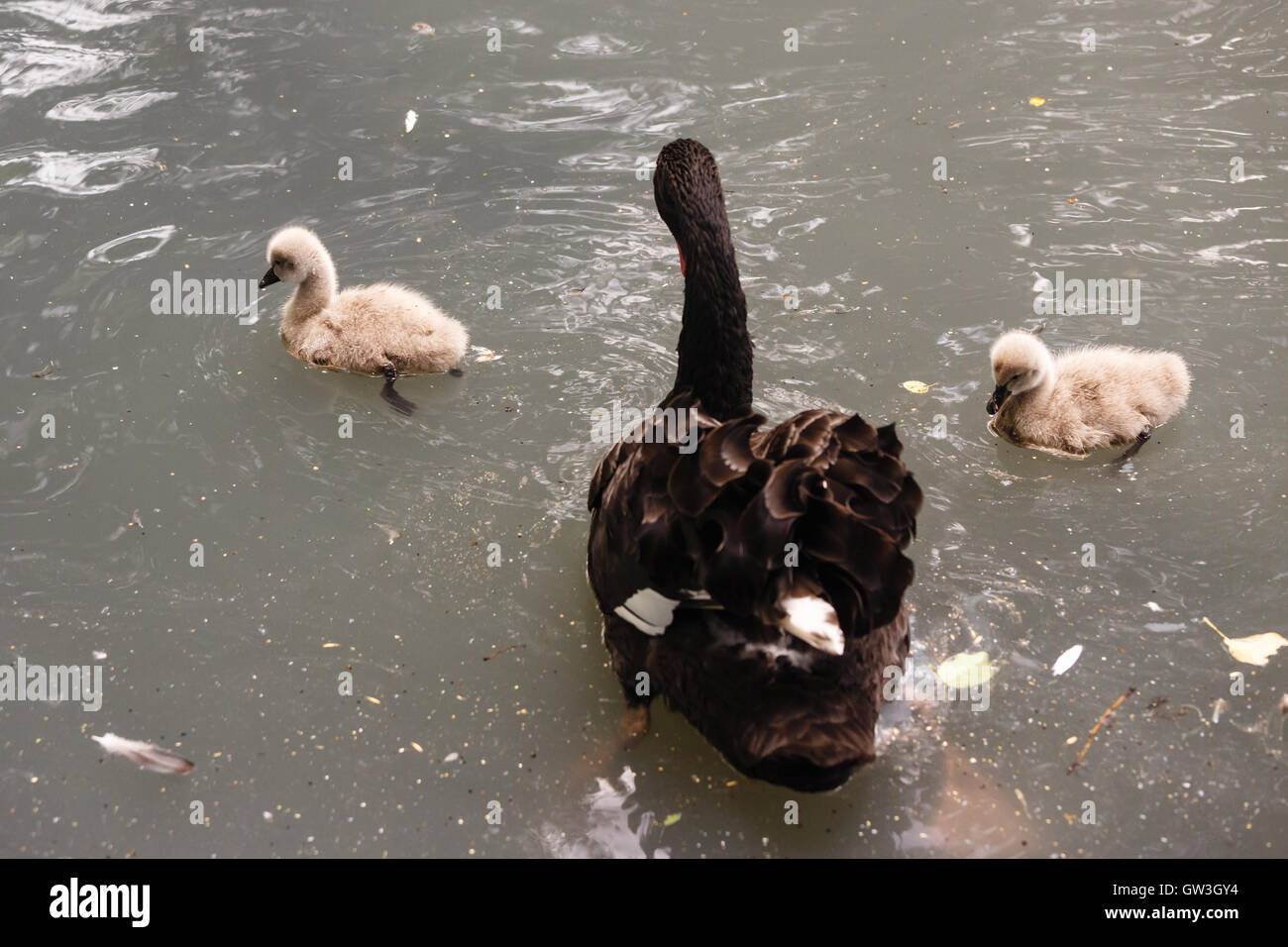 Family of the black  swans swimming in a pond - Stock Image