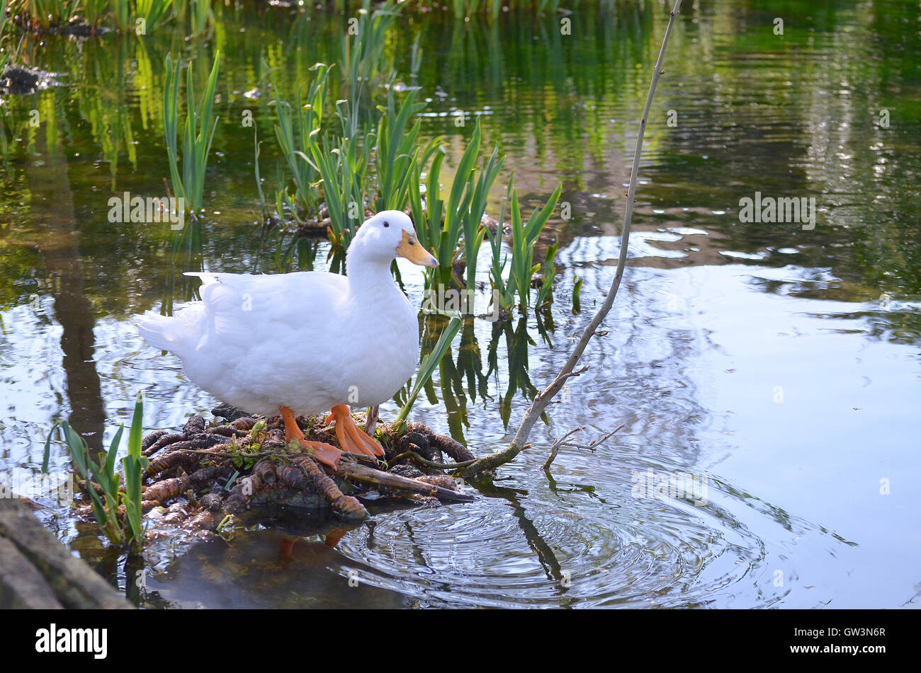 A Pure White Duck Sitting on a Pond root, by rippling and reflective water - Stock Image