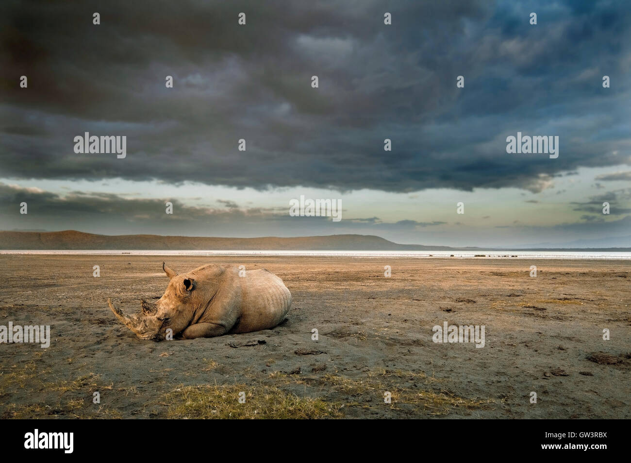 A lone rhinoceros sleeps on the shores of Lake Nakuru, Kenya. - Stock Image