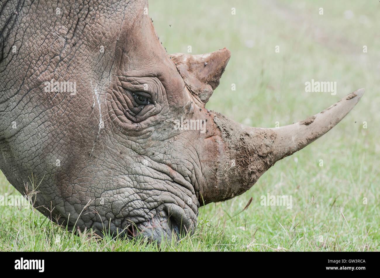 Close up of Rhinoceros. - Stock Image