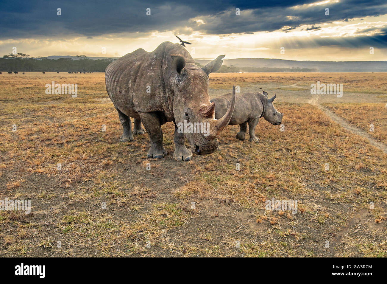 Mother Rhinoceros and Baby - Stock Image