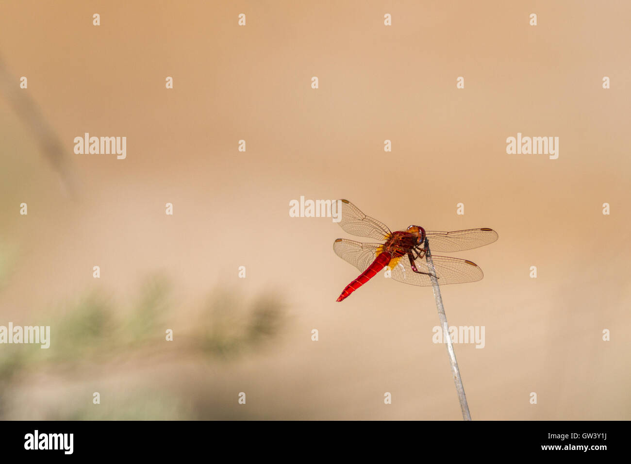 The vivdly bright male scarlet darter dragonfly (crocothemis erythraea), Ria Formosa Natural Park, Olhao, Algarve, - Stock Image