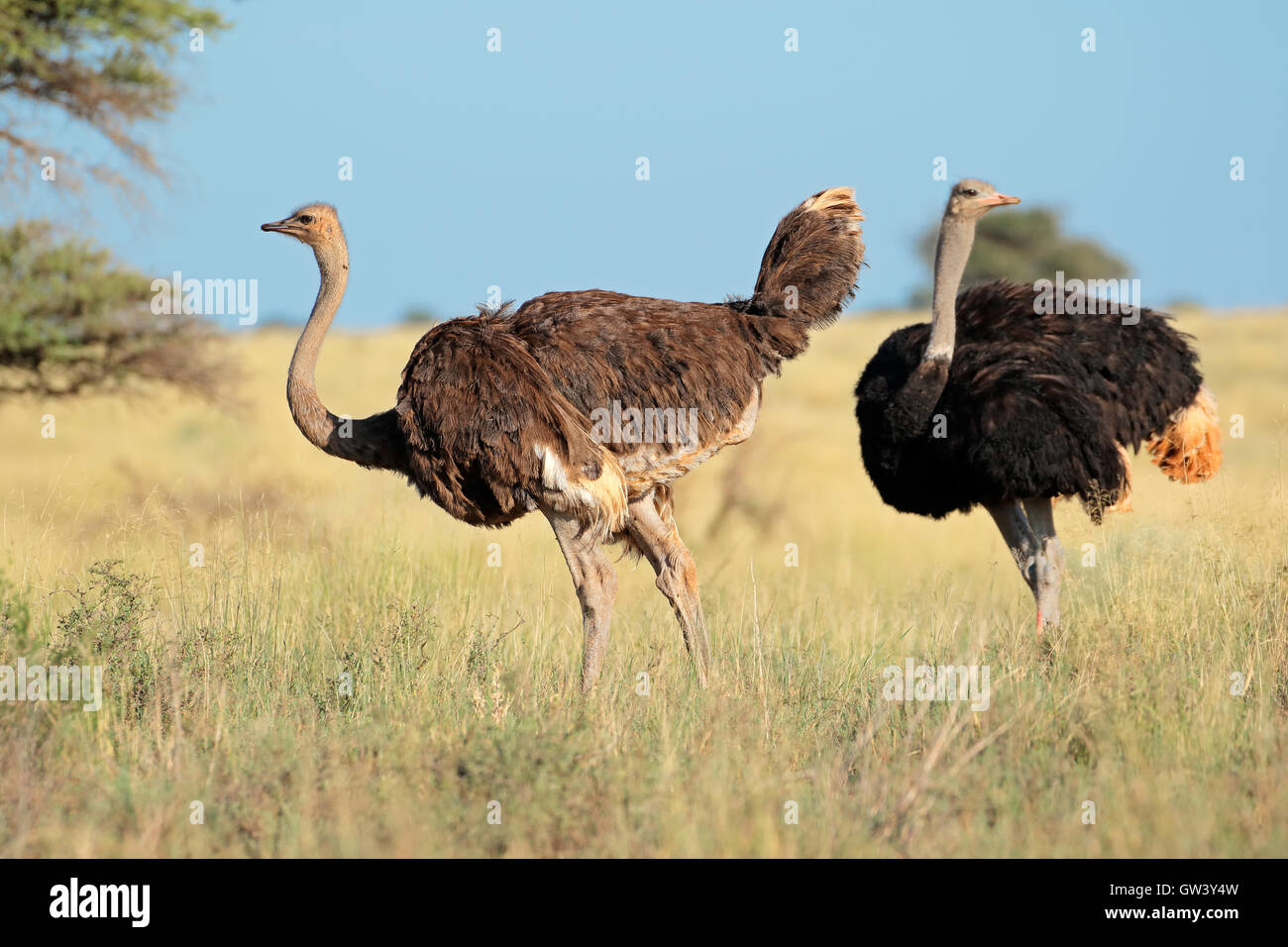 Two ostriches (Struthio camelus) in natural, Mokala National Park, South Africa - Stock Image