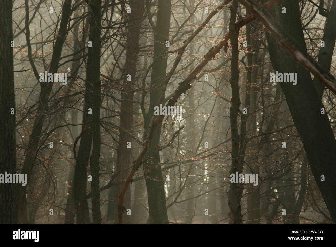 In the winter, murky Belgian woodland in a cold desolate forest of oak, birch and coniferous evergreen. - Stock Image