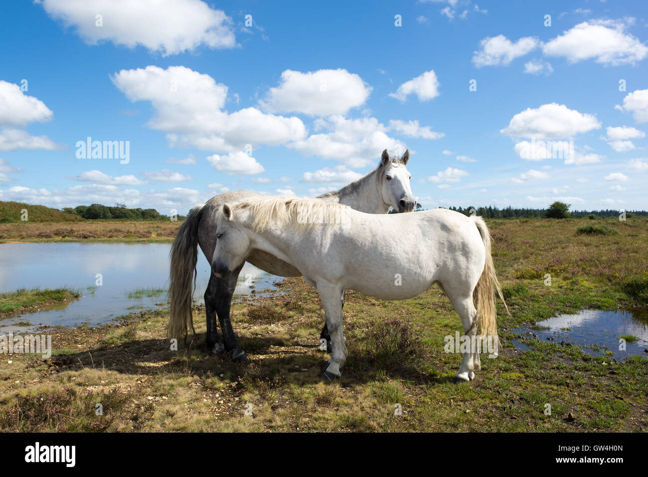 Two white New Forest ponies standing head to tail, Hampshire, UK - Stock Image