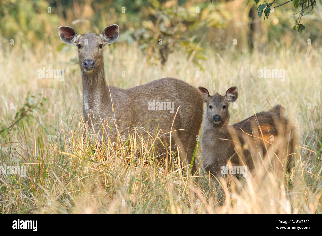 A female Sambar Deer (Rusa unicolor) with young calf in Rajaji National Park, Uttarakhand, India - Stock Image