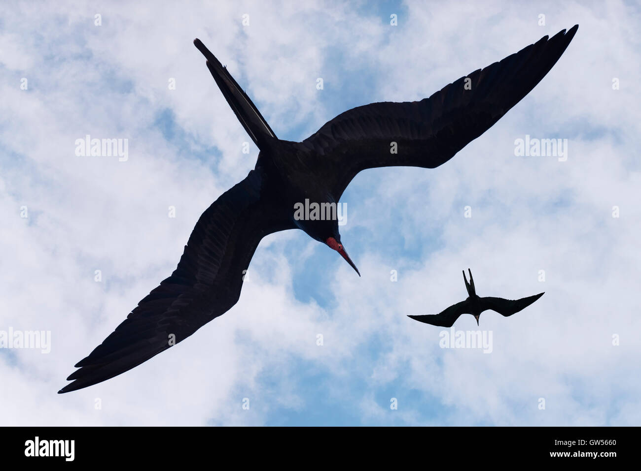 Two Magnificent Frigate Birds (Fregata magnificens) soar in a blue summer sky - Stock Image
