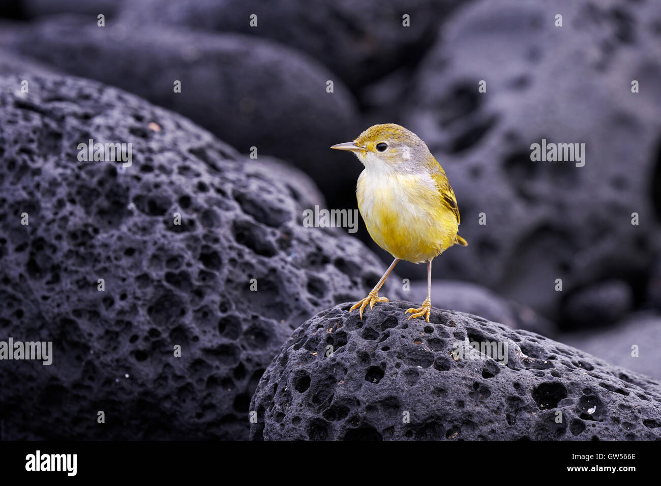 Yellow Warbler (Setophaga petechia) hunts for food on the shores of Fernandina in the Galapagos Islands of Ecuador - Stock Image
