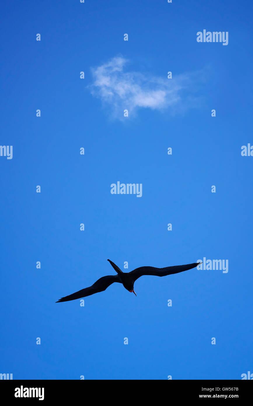 Magnificent Frigate Bird (Fregata magnificens) soars ibeneath a solitary cloud in a blue summer sky - Stock Image
