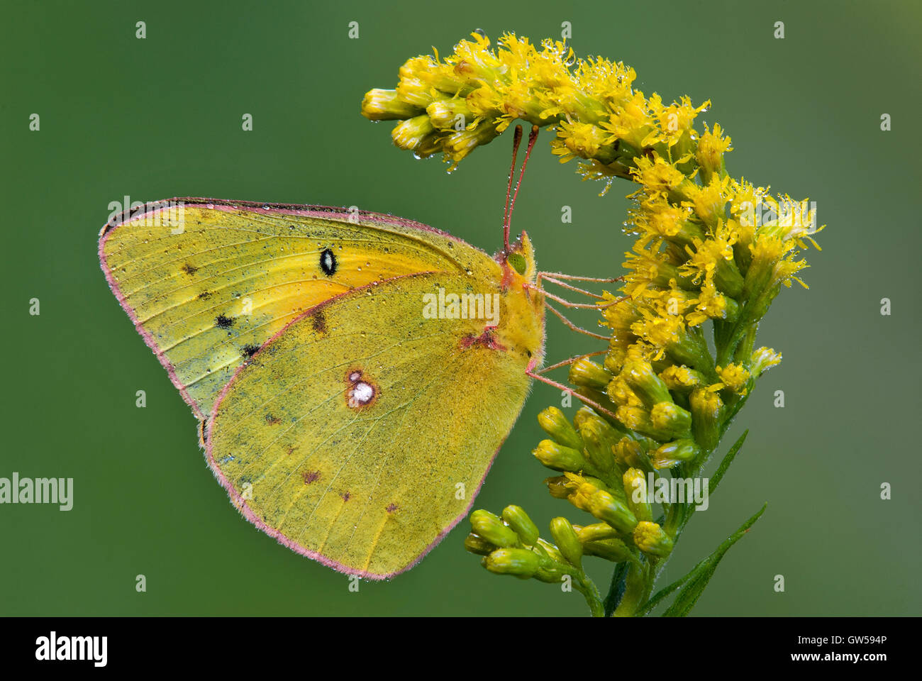 Clouded Sulphur Butterfly Colias philodice feeding on Goldenrod (Solidago species) flowers, Michigan USA - Stock Image