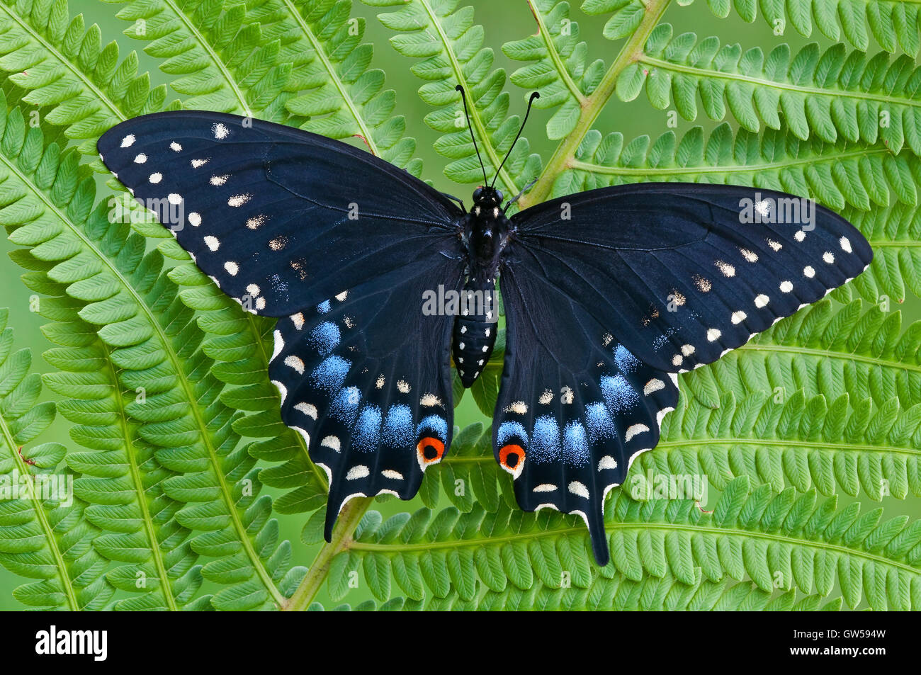 E. Black Swallowtail Butterfly Papilio polyxenes, female, resting on fern, Eastern USA - Stock Image
