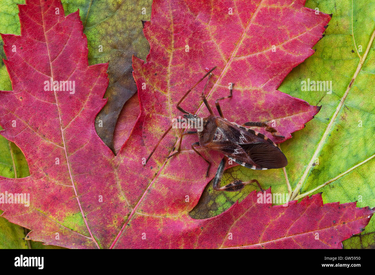 Leaffooted bug, Western Conifer Seed Bug (Leptoglossus occidentalis) on Silver Maple leaf (Acer saccharinum), Fall, - Stock Image