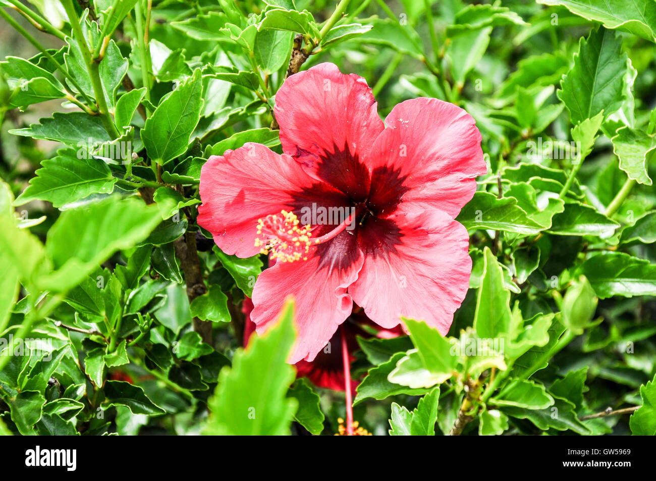 Closeup of vivid two-tone hot pink hibiscus flower blossom with protruding stamen and bright green foliage. - Stock Image