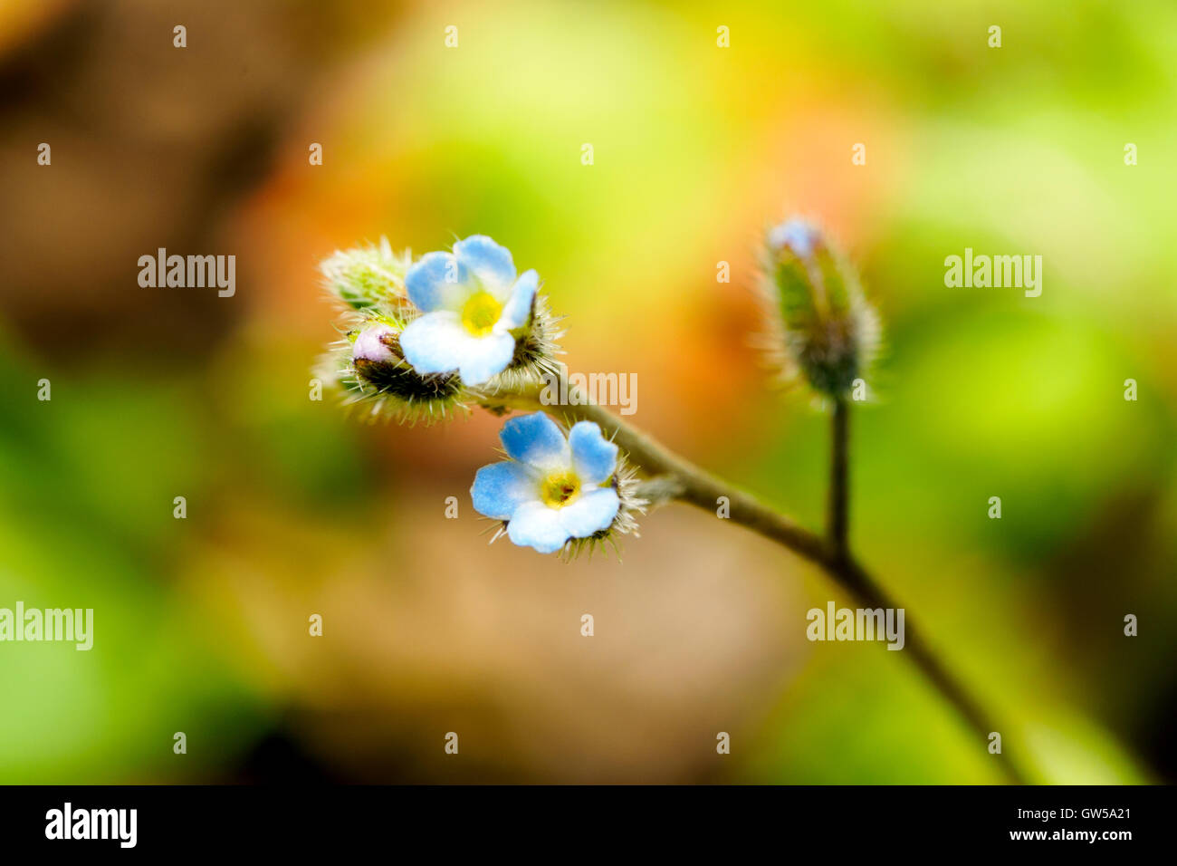 Forget me not flower - Italy - Stock Image