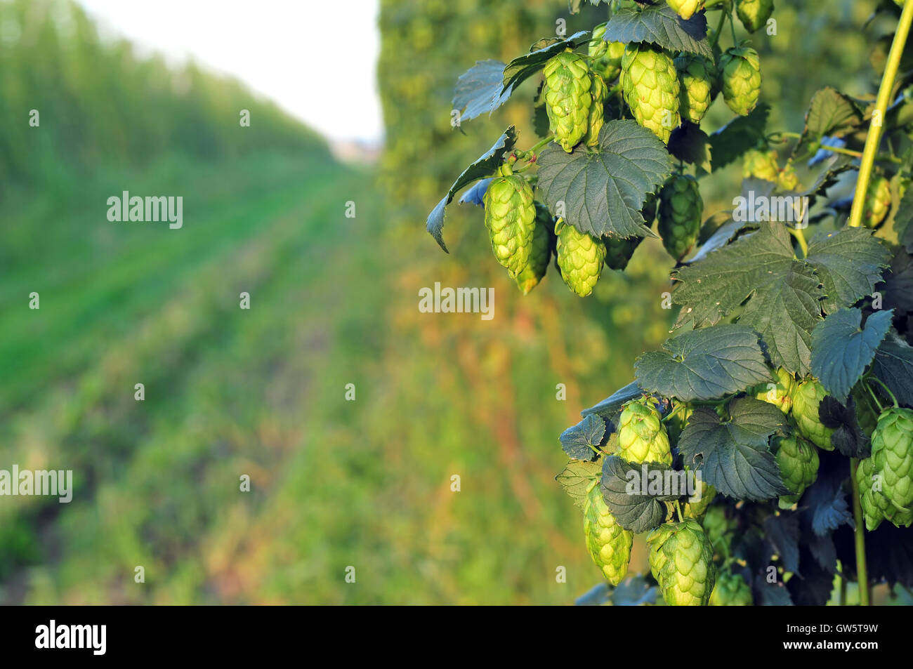 Close up of ripe green hops, growing in a field - Stock Image