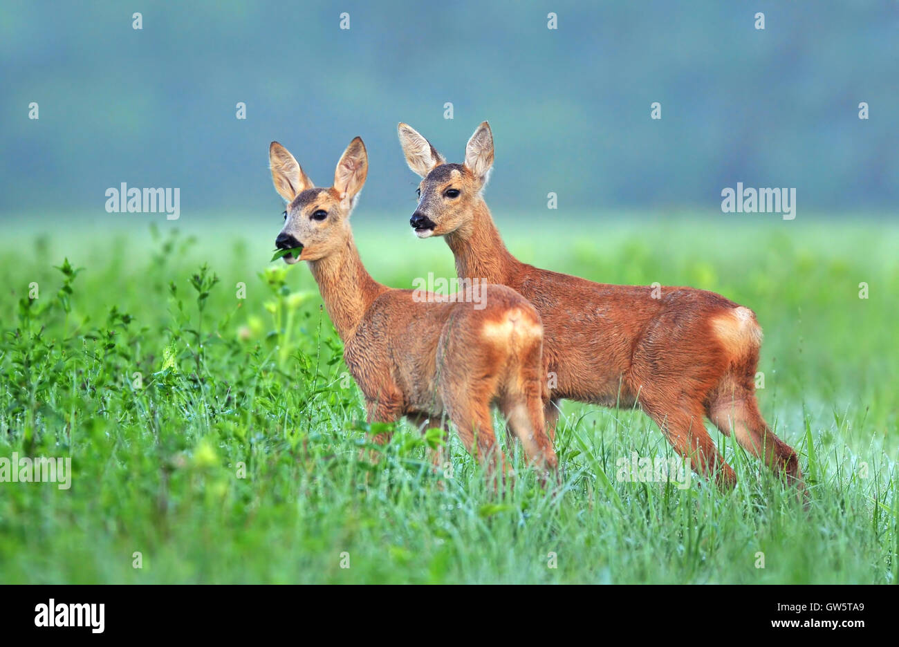 Two roe deer cubs in a field - Stock Image