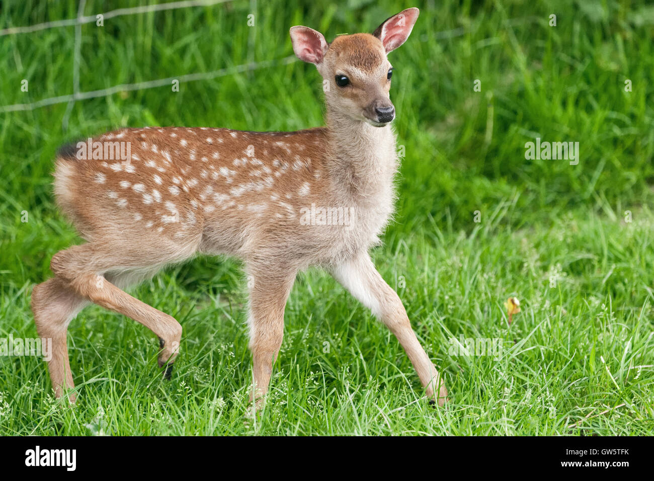 Red dear fawn - a UK native species - Stock Image