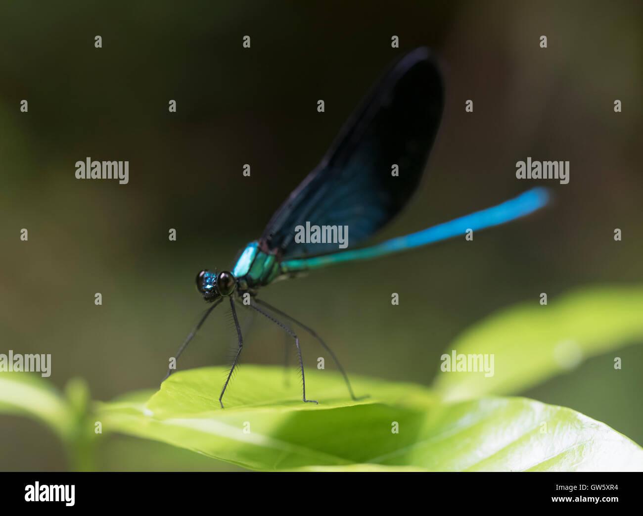 Okinawan Dragonfly, Ryukyu Islands, Okinawa, Japan - Stock Image