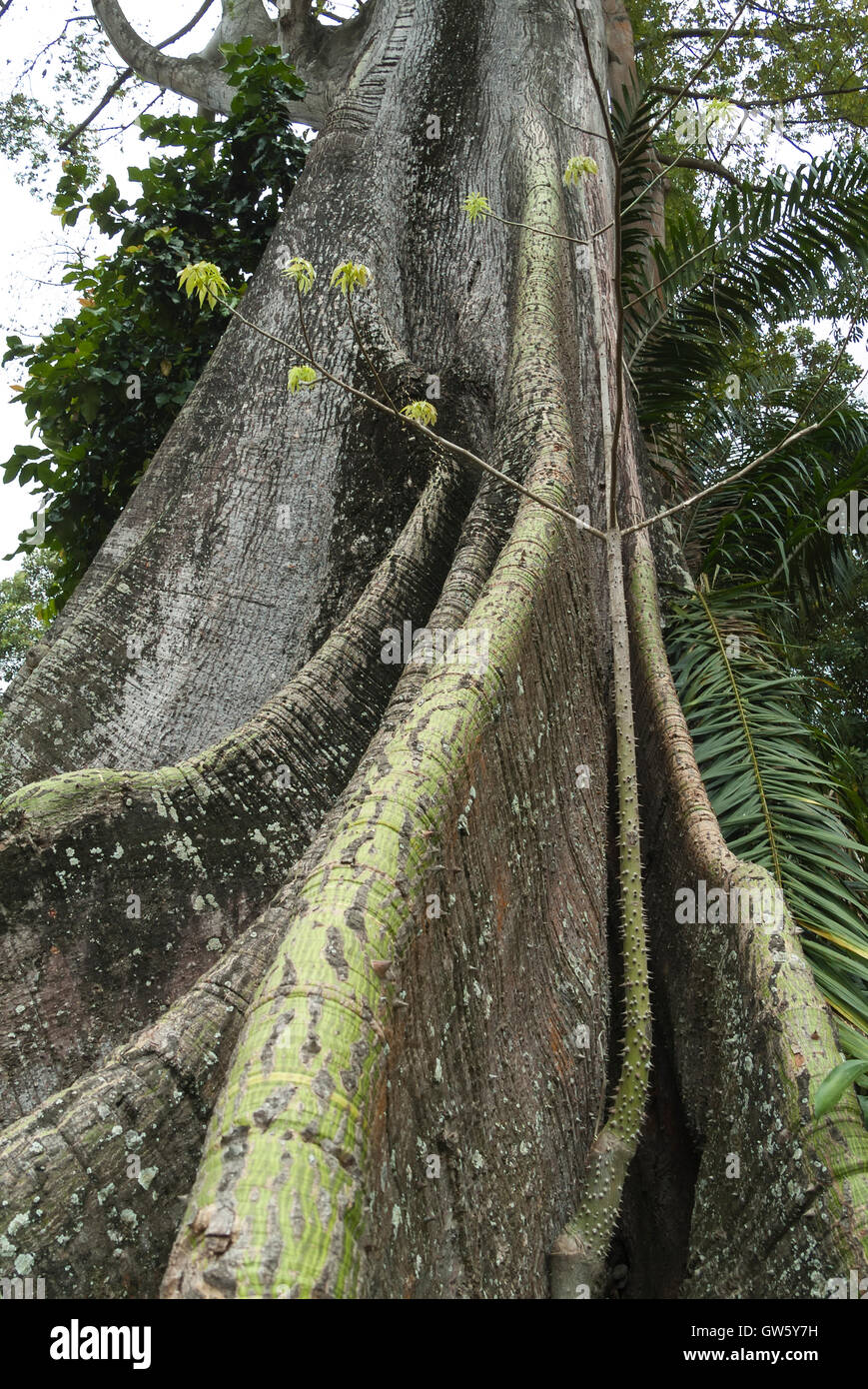 Tree with strong roots. São Tomé e Príncipe - Stock Image