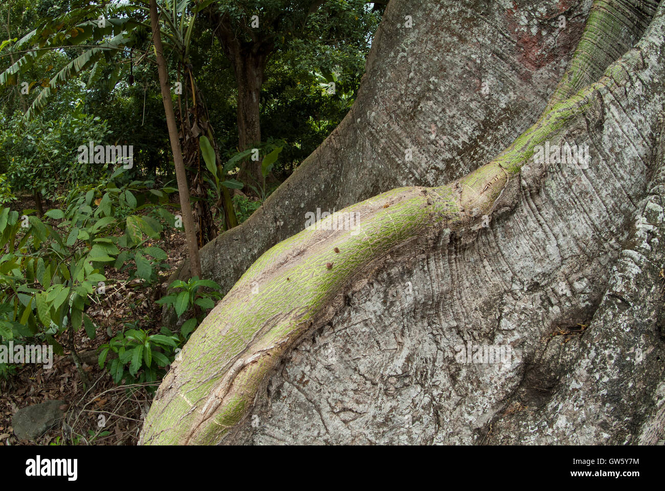 Tree with strong roots. Close-up. São Tomé e Príncipe - Stock Image