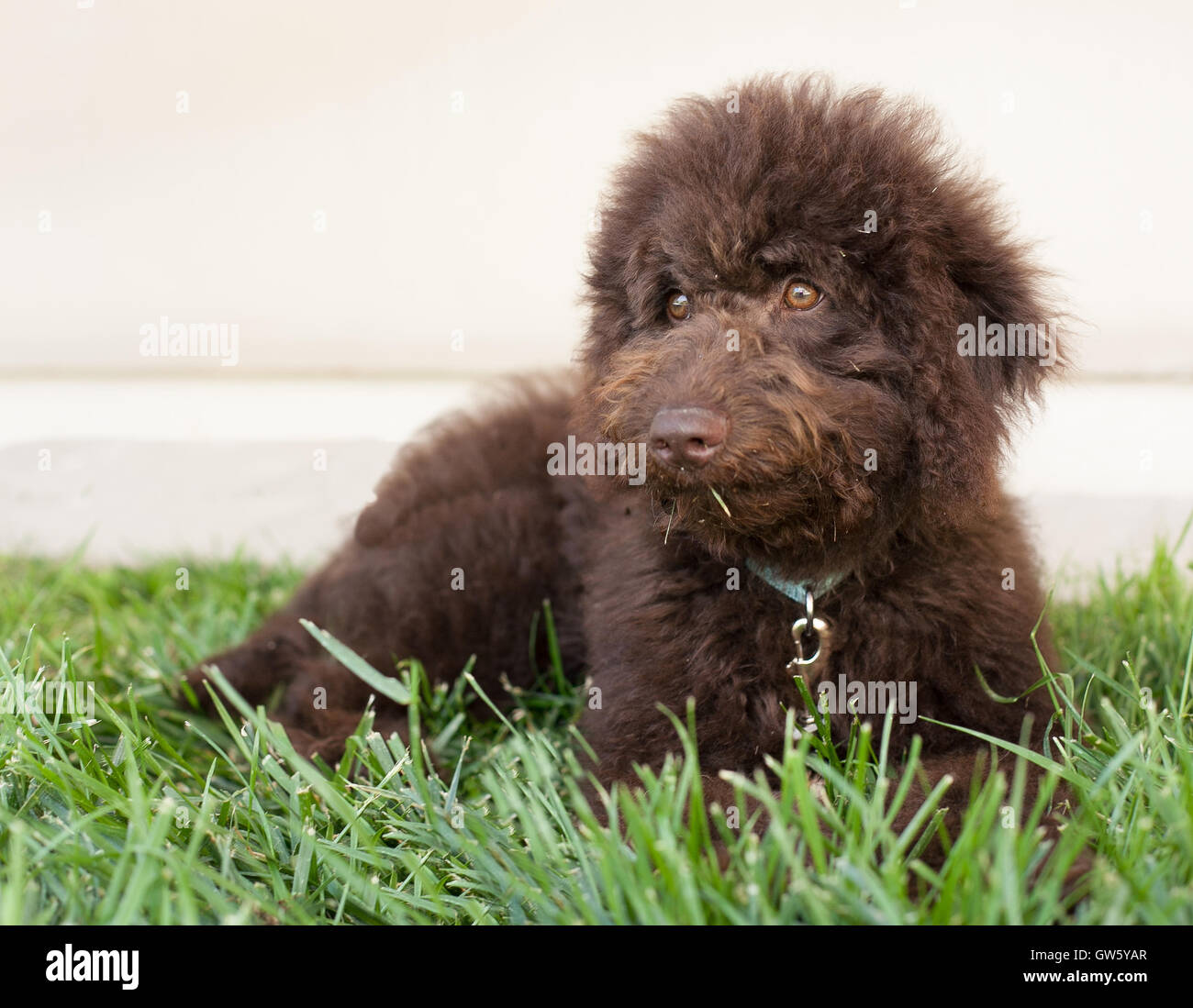 Chocolate labradoodle puppy dog lays on the grass.  A labradoodle is a cross between a poodle and a labrador retriever. - Stock Image