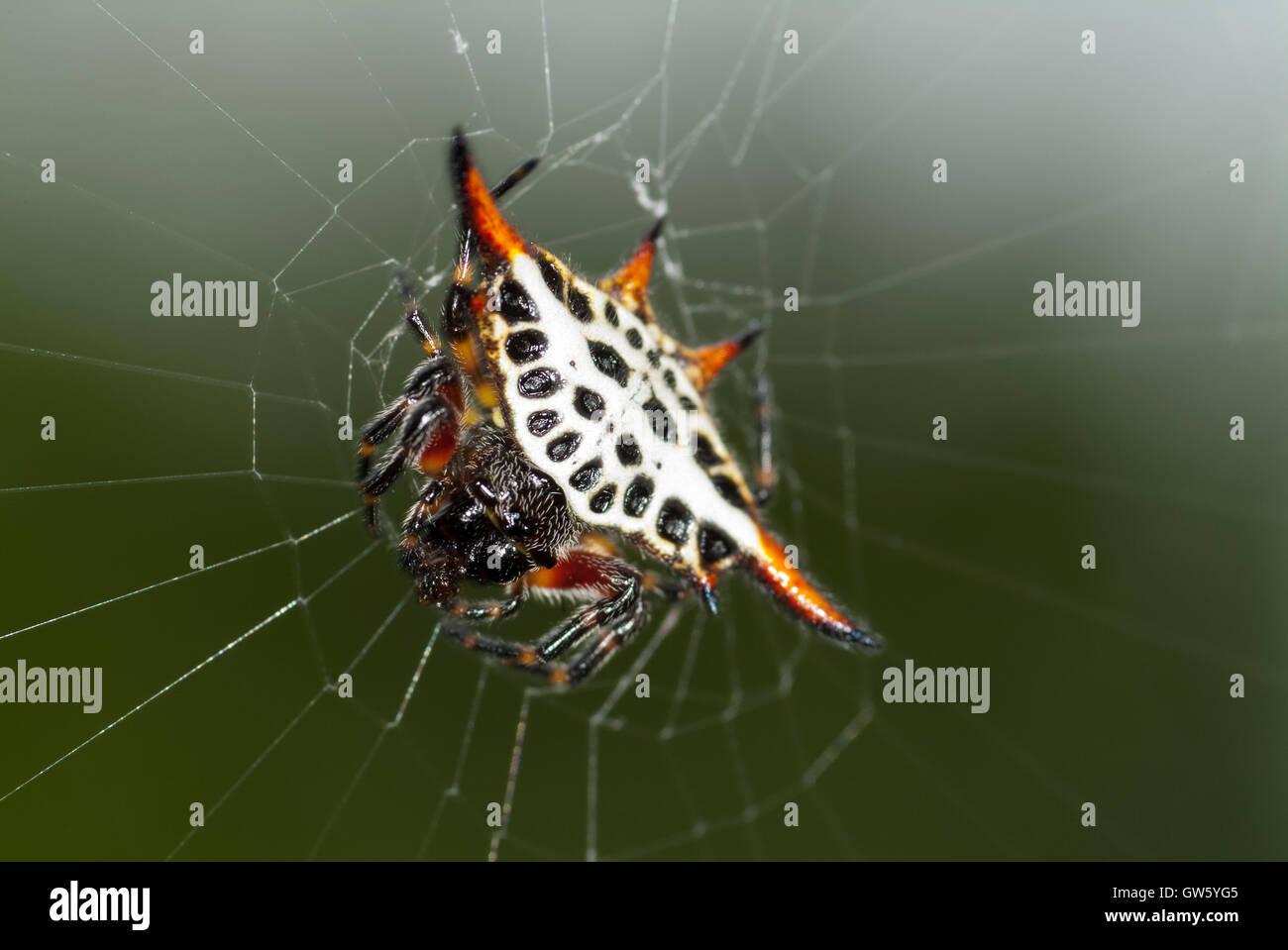 Star spider, Gasteracantha cancriformis. São Tomé e Príncipe - Stock Image