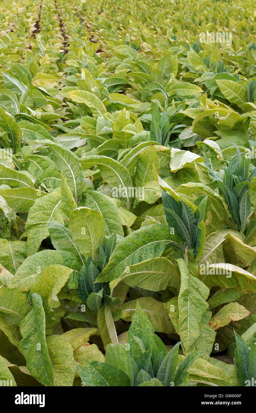 Nicotiana Tabacum Images: Tobacco Plant Stock Photos & Tobacco Plant Stock Images