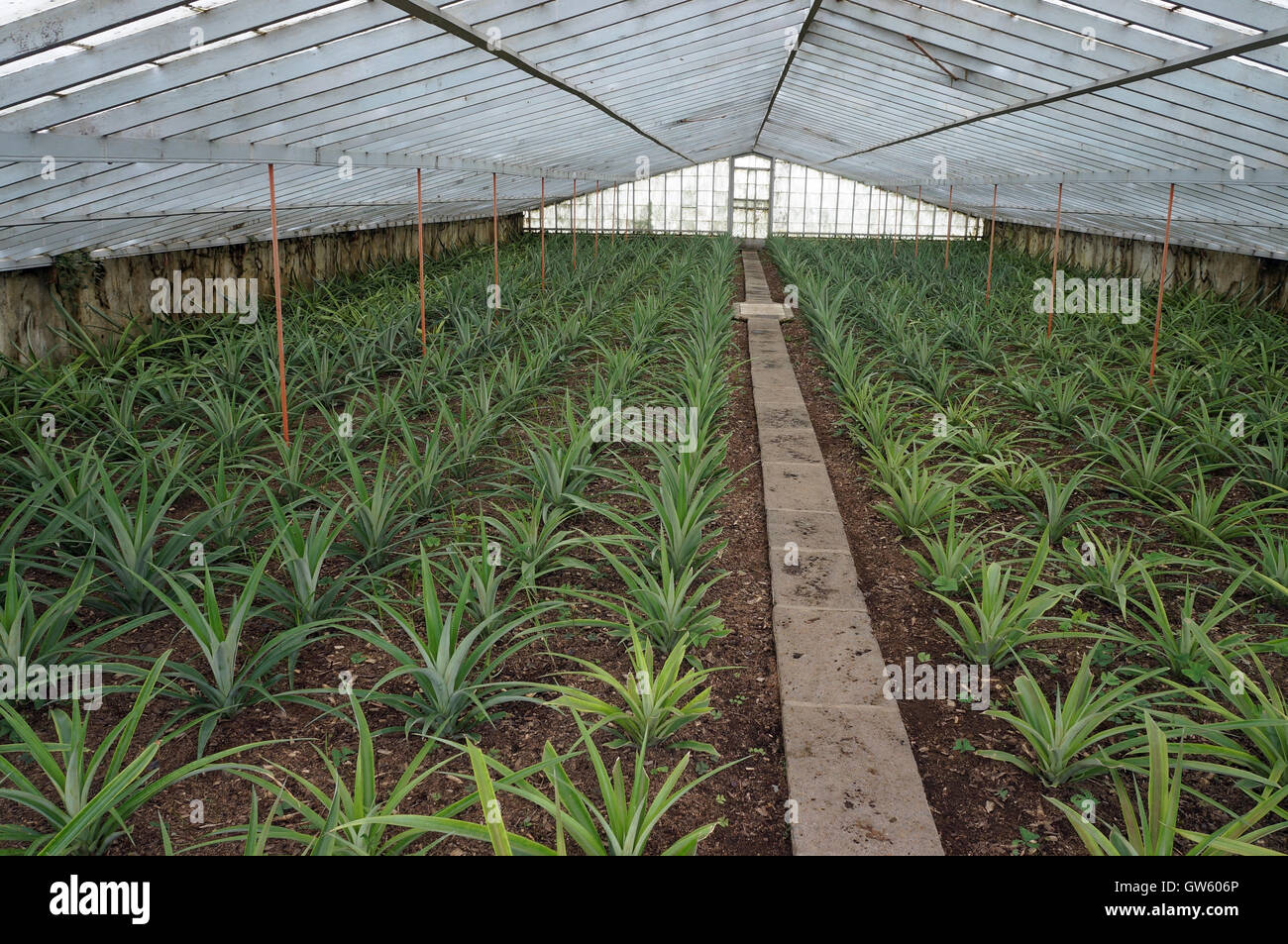 Pineapple plantation on greenhouses. S.Miguel Island, Azores. Portugal Stock Photo