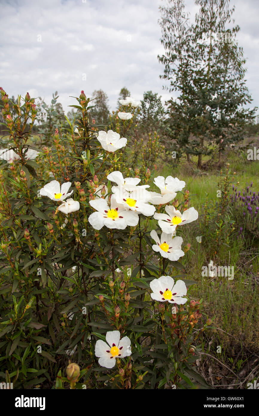 Gum rockrose, Cistus ladanifer. Alentejo. South Portugal - Stock Image