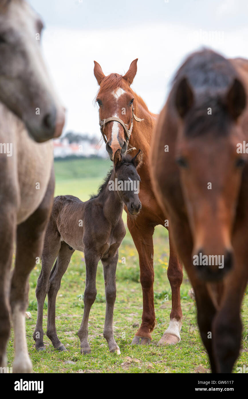 Lusitano horses. Mare with young. Portugal - Stock Image