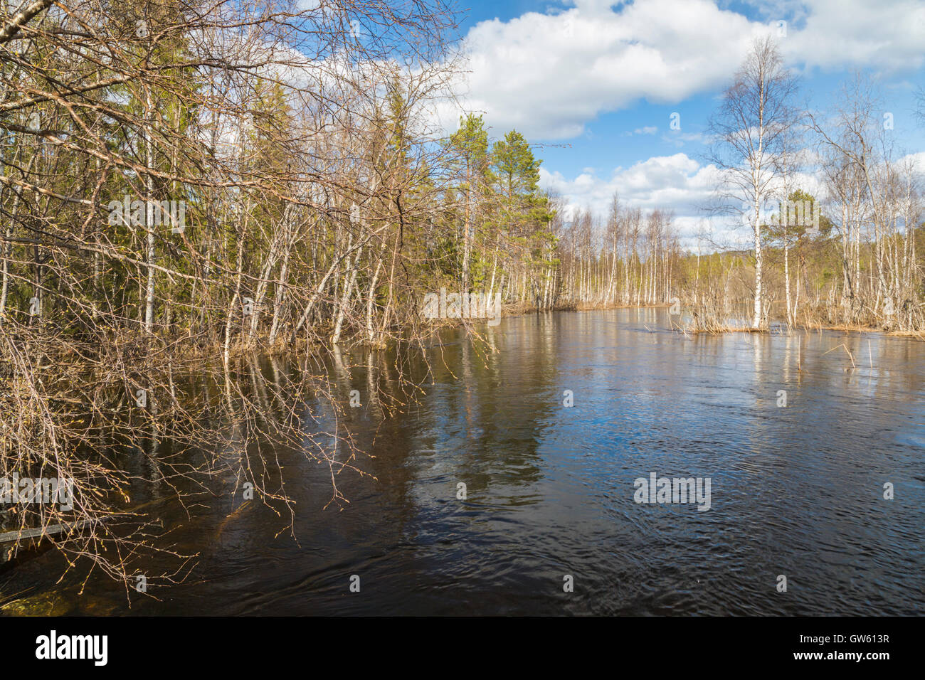 Creek with high water and the trees are budding at spring time, Norrbotten, Sweden - Stock Image