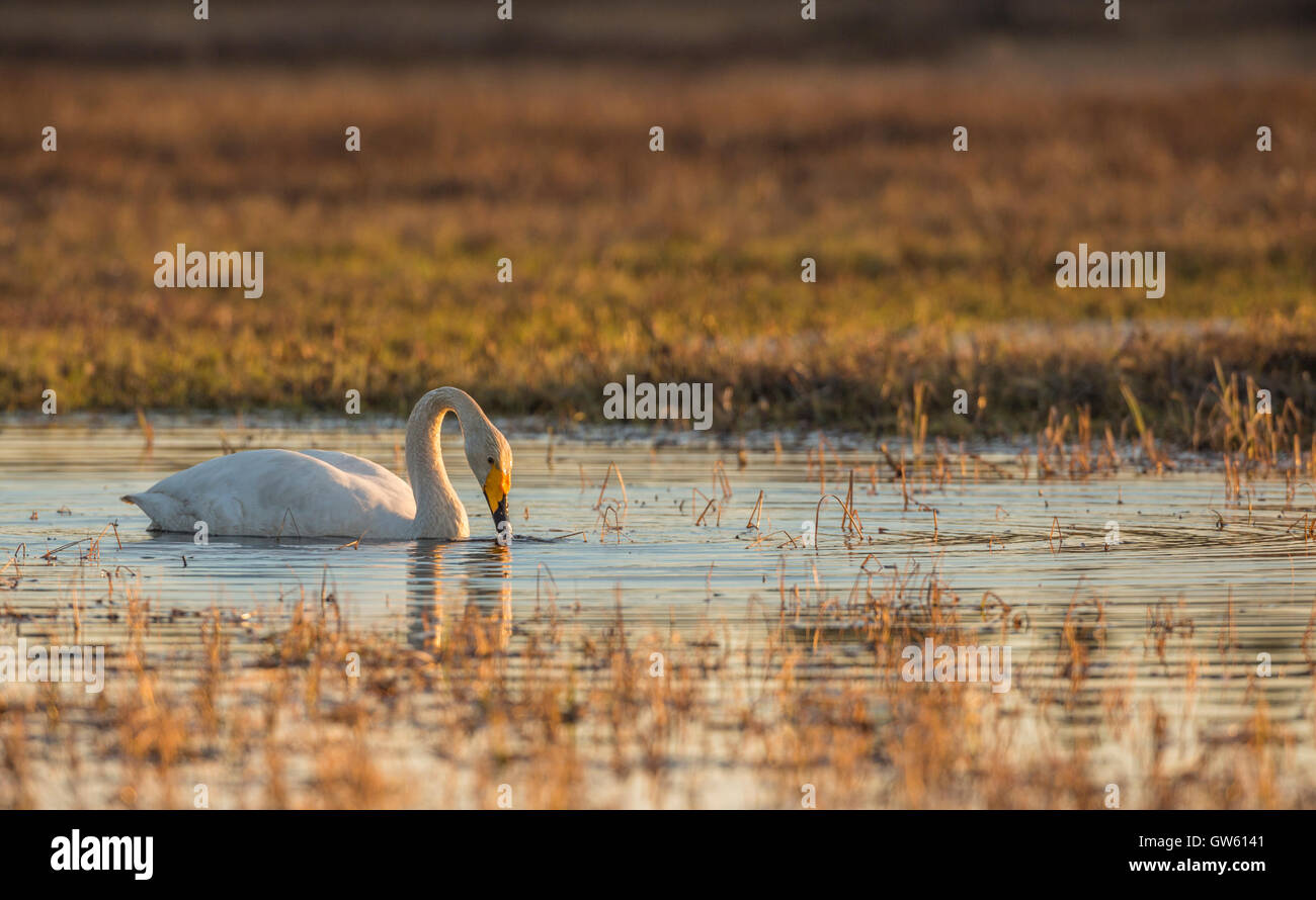 Whooper swan swimming and dipping his beak in the water in nice warm evening light, Norrbotten, Sweden - Stock Image