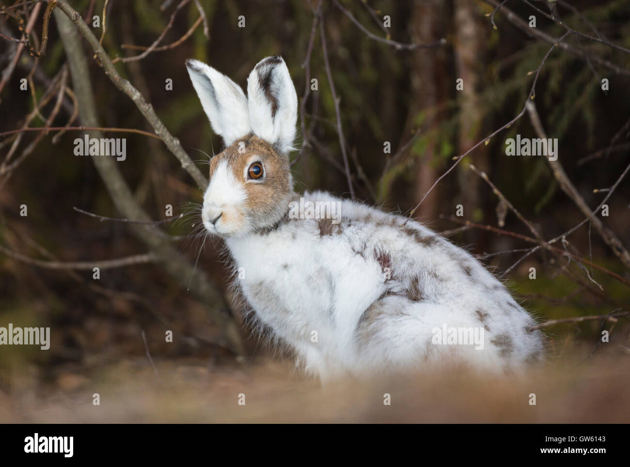 Mountain hare sitting and looking in to the camera, Gällivare, Swedish Lapland, Sweden - Stock Image