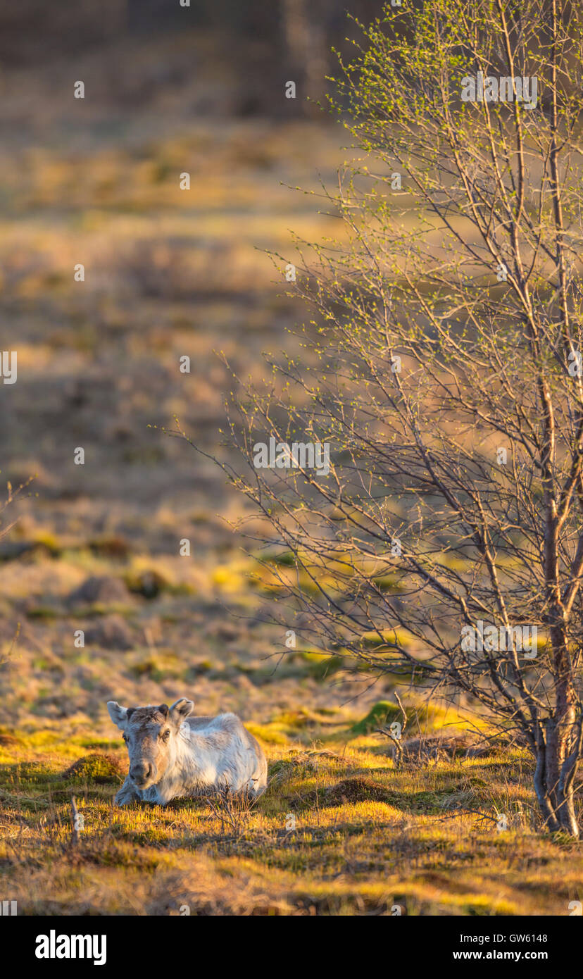 Reindeer lying down in nice warm evening light with birch trees budding on the side, Gällivare, Swedish Lapland, - Stock Image