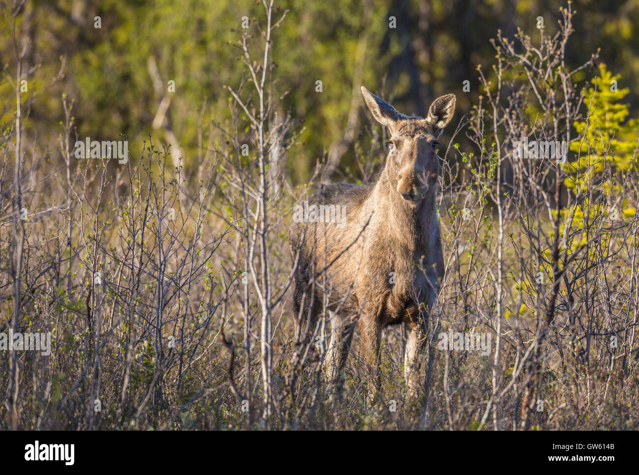 Moose among budding birch trees looking in to the camera, Gällivare, Swedish Lapland, Sweden - Stock Image