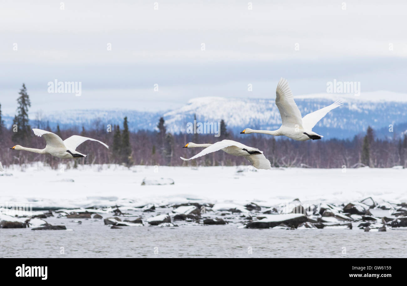Three Whooper swans flying together with a mountain in the background,  Gällivare, Swedish Lapland, Sweden - Stock Image