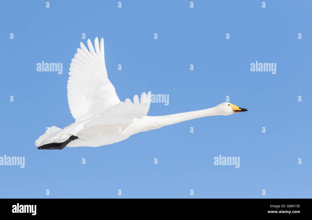Whooper swan flying in clear blue sky, Gällivare Swedish Lapland, Sweden - Stock Image