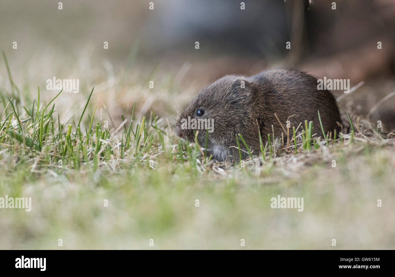 Field vole in grass shoot at close up, Gällivare, Swedish Lapland, Sweden - Stock Image