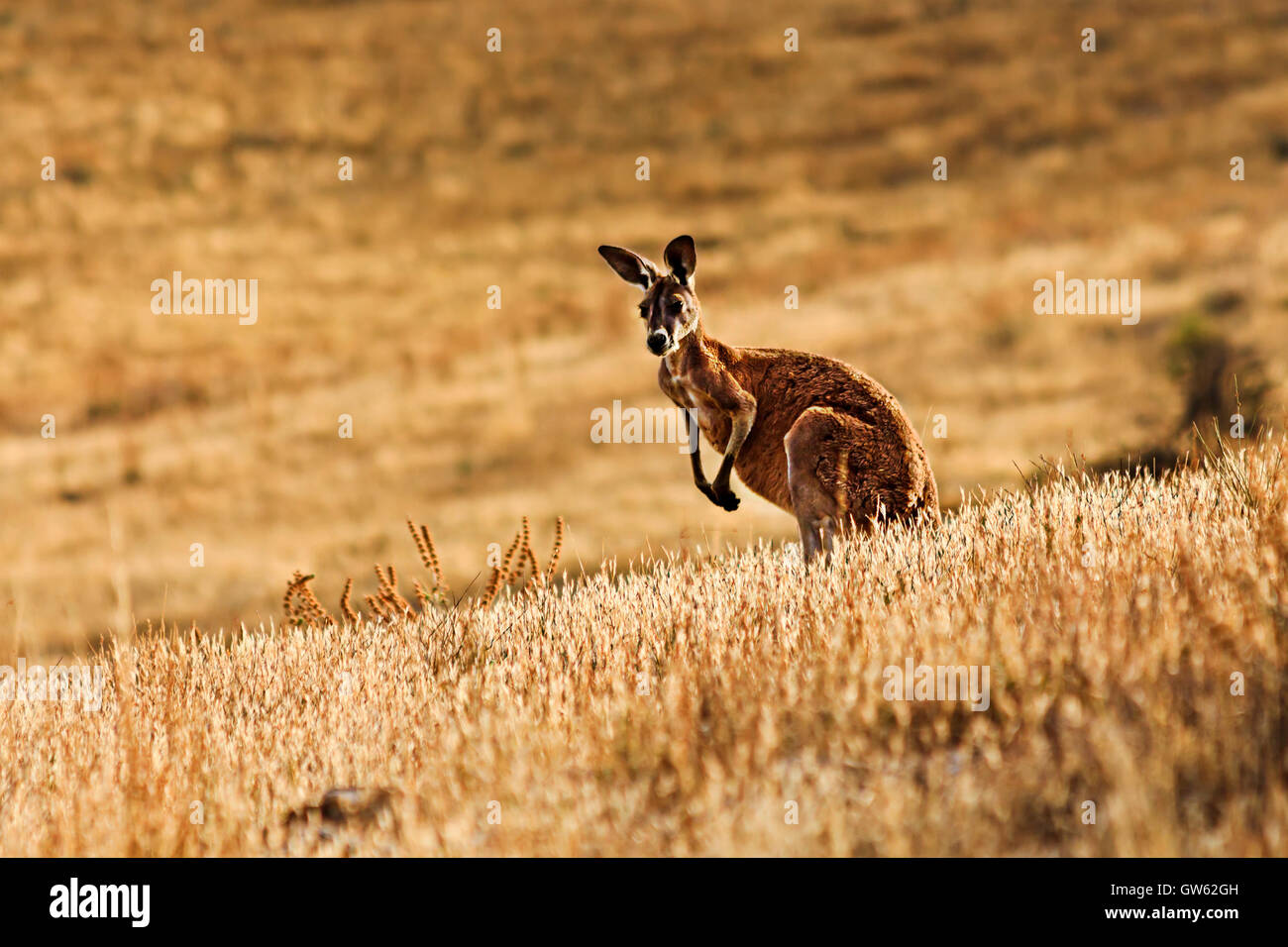 single yellow tall kangaroo wallaby in Flinders Ranges National park of South Australia. Standing still alert against - Stock Image