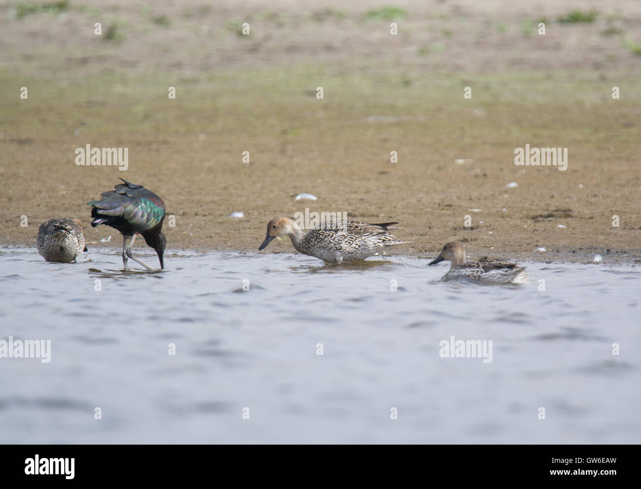 Duck on a water in the Wilderness of Egypt - Stock Image