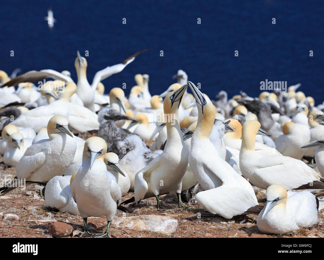 Colony of Northern Gannets, Bonaventure Island Quebec, Canada - Stock Image
