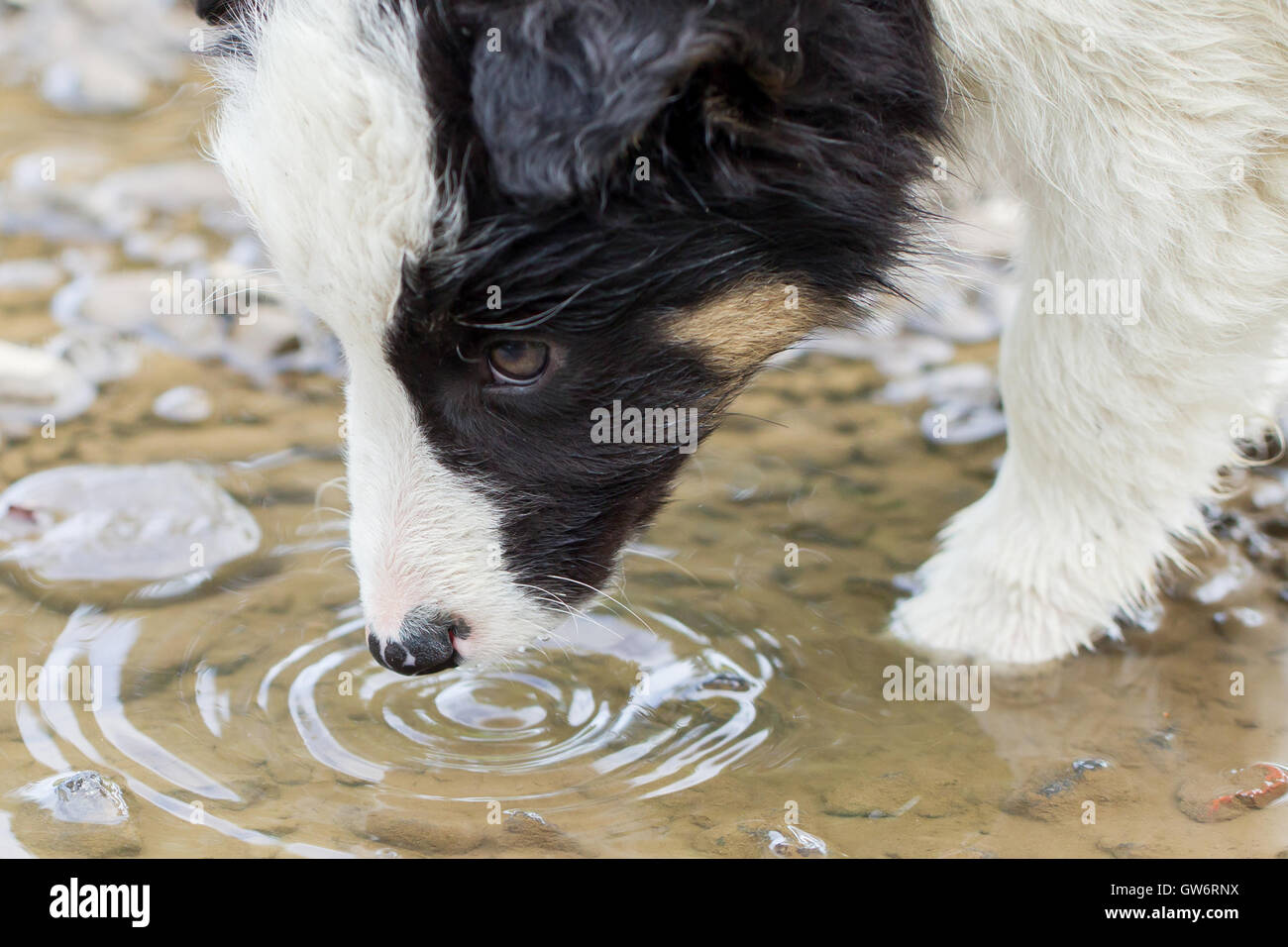 Small Border Collie puppy on a farm, brown eyed, drinking from a pool - Stock Image