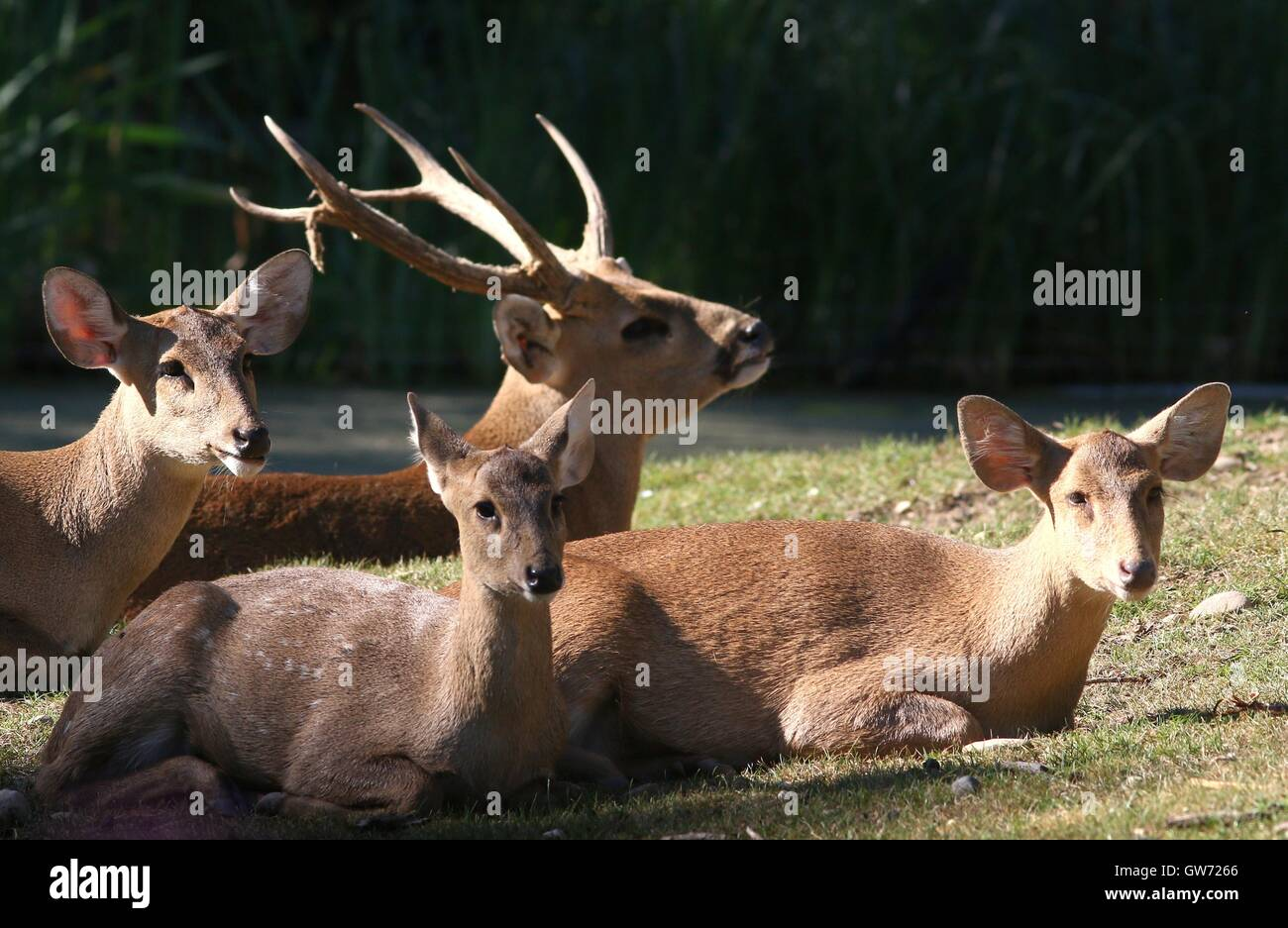 Group of Indian hog deer (Axis Porcinus, Hyelaphus porcinus), native from Pakistan to Thailand, antlered male in - Stock Image