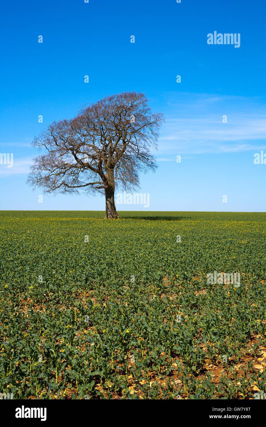 A single tree stands leafless in early spring sunshine under a blue sky - Stock Image