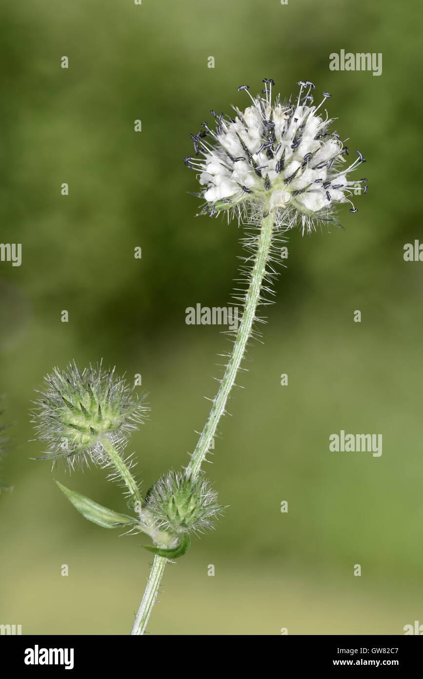 Small Teasel - Dipsacus pilosus - Stock Image