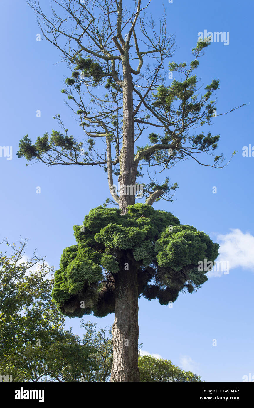 A rare Witch's Broom growing on its host Douglas Fir tree in Cornwall UK - Stock Image