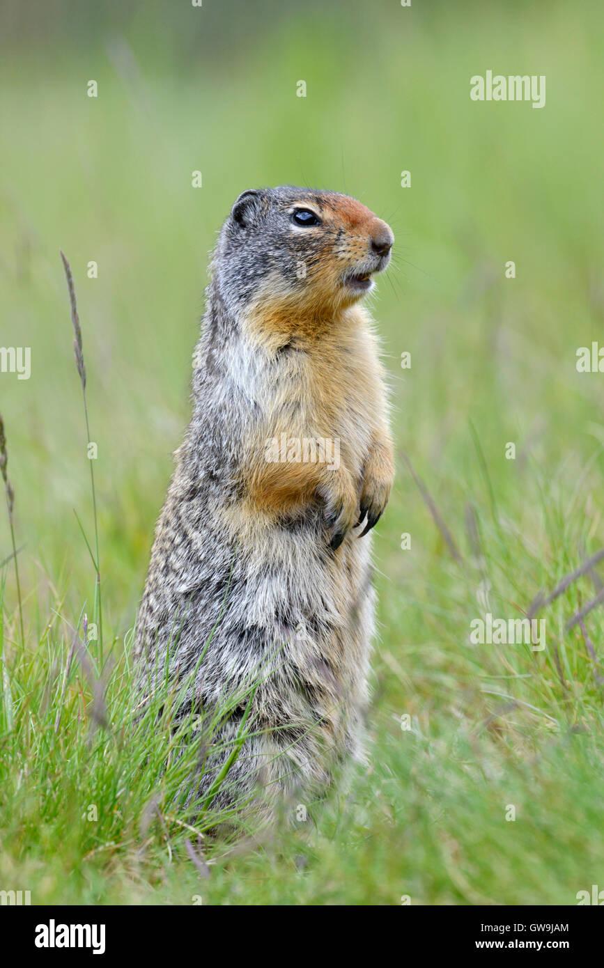 Columbian Ground Squirrel - Urocitellus columbianus Stock Photo