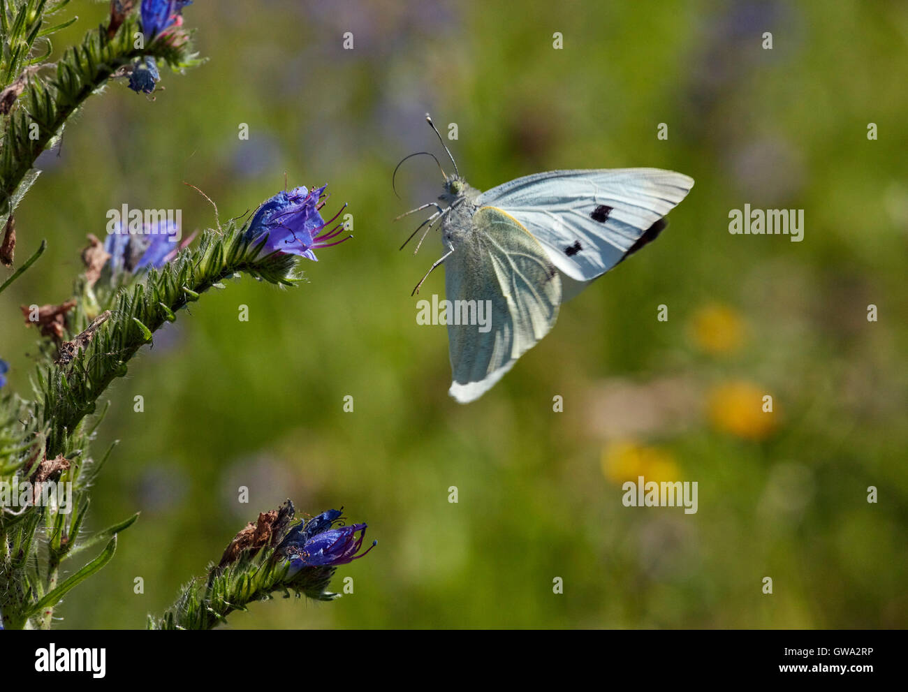 Large White butterfly taking off from Viper's Bugloss flower. - Stock Image