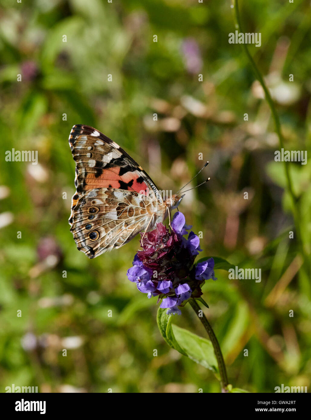 Painted Lady butterfly on selfheal flower. - Stock Image